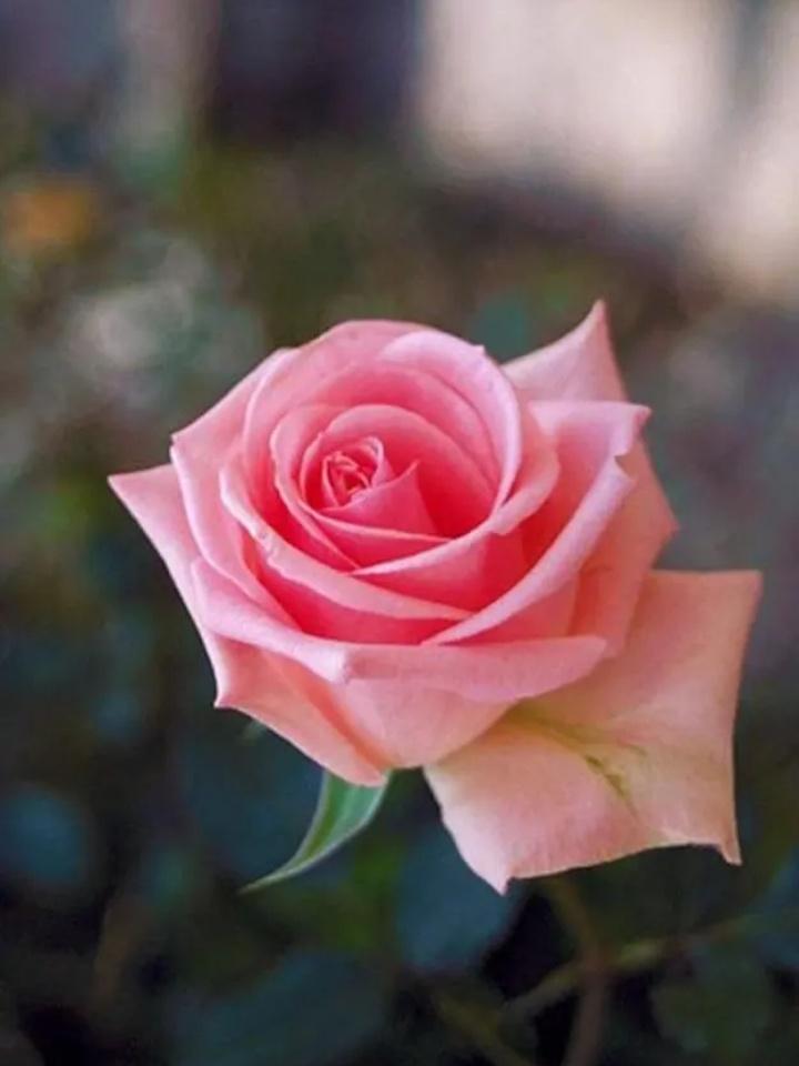 2. mawar